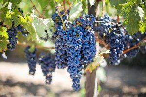Rosé grapes